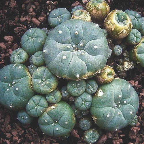 Buy peyote cactus